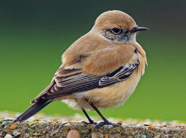 海堤上的石棲鳥_圖1-13