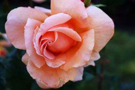 波特兰的玫瑰园