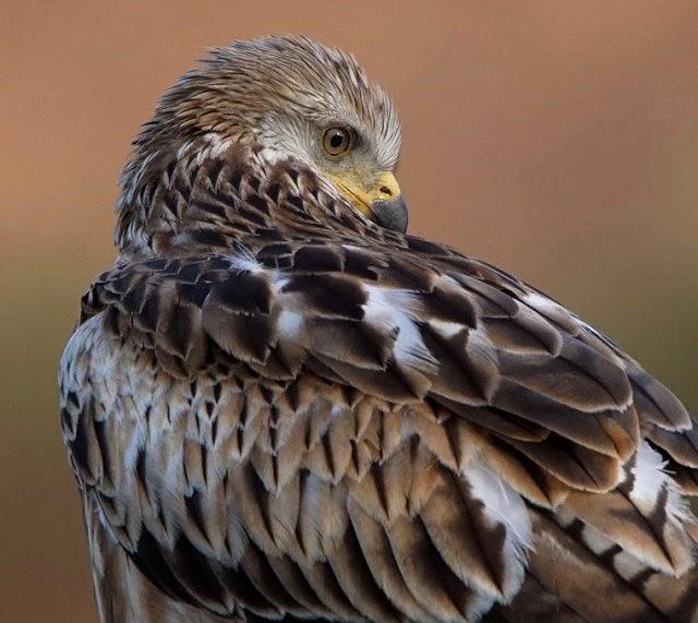 欧洲鸢鹰_图1-1