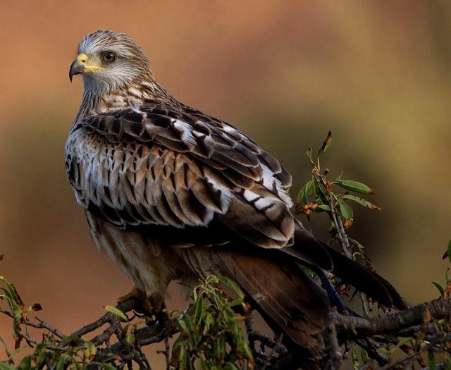 欧洲鸢鹰_图1-2