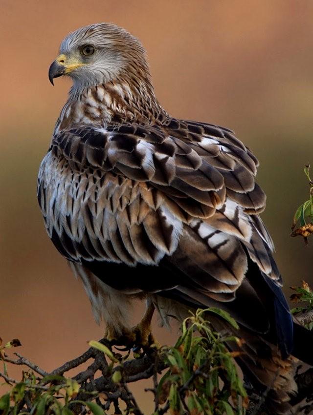 欧洲鸢鹰_图1-3