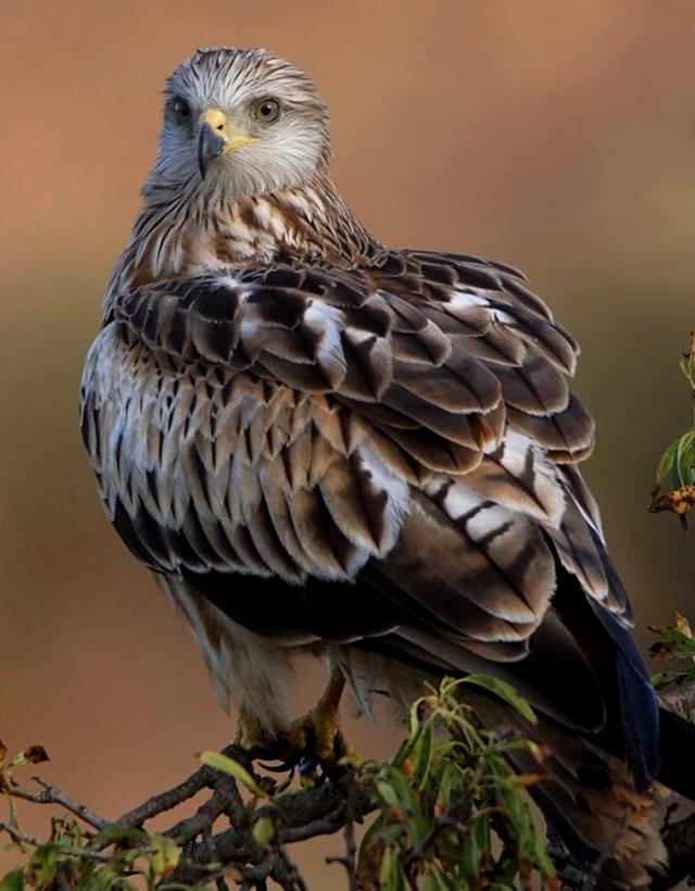 欧洲鸢鹰_图1-4