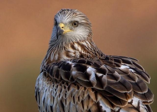 欧洲鸢鹰_图1-5