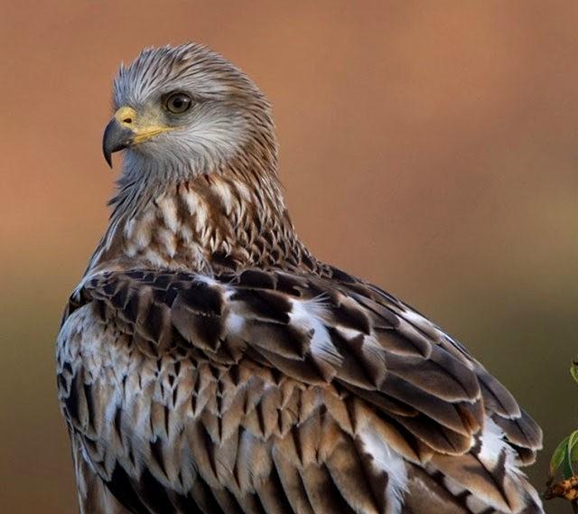 欧洲鸢鹰_图1-8