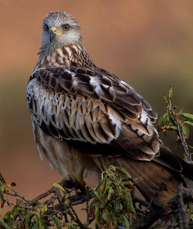 欧洲鸢鹰_图1-9