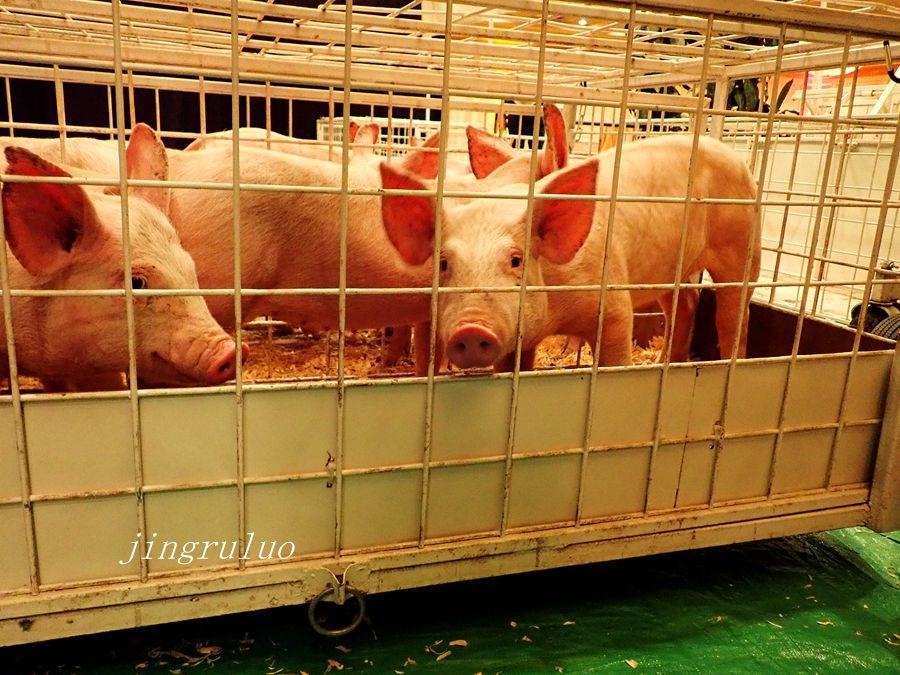 【小虫摄影】2019金猪比赛_图1-20