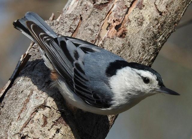 斯特劳德保护区的鸟儿_图1-25