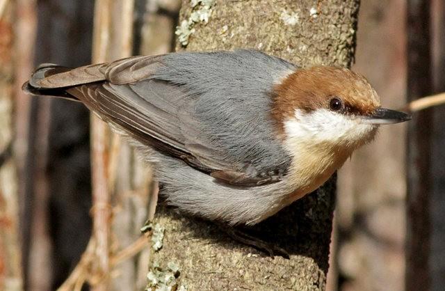斯特劳德保护区的鸟儿_图1-26