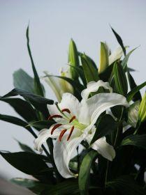 我家的香水百合花