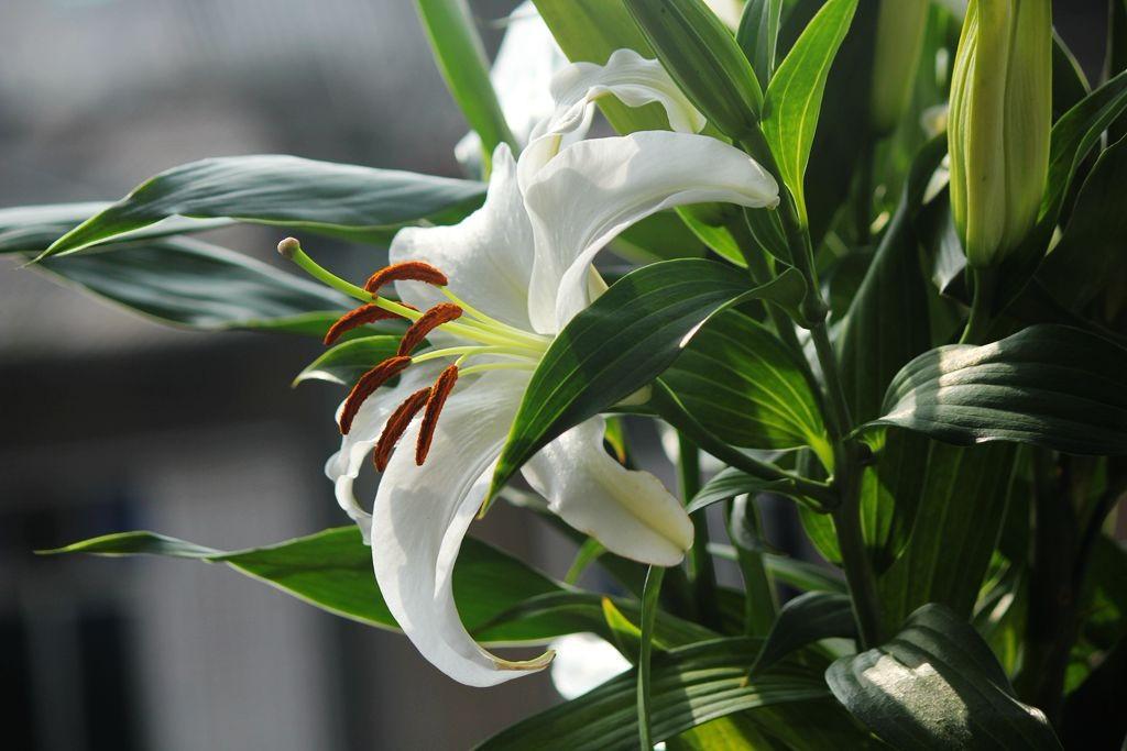 我家的香水百合花_圖1-8