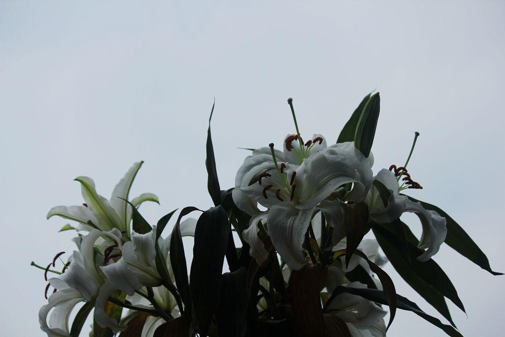 我家的香水百合花_圖1-13
