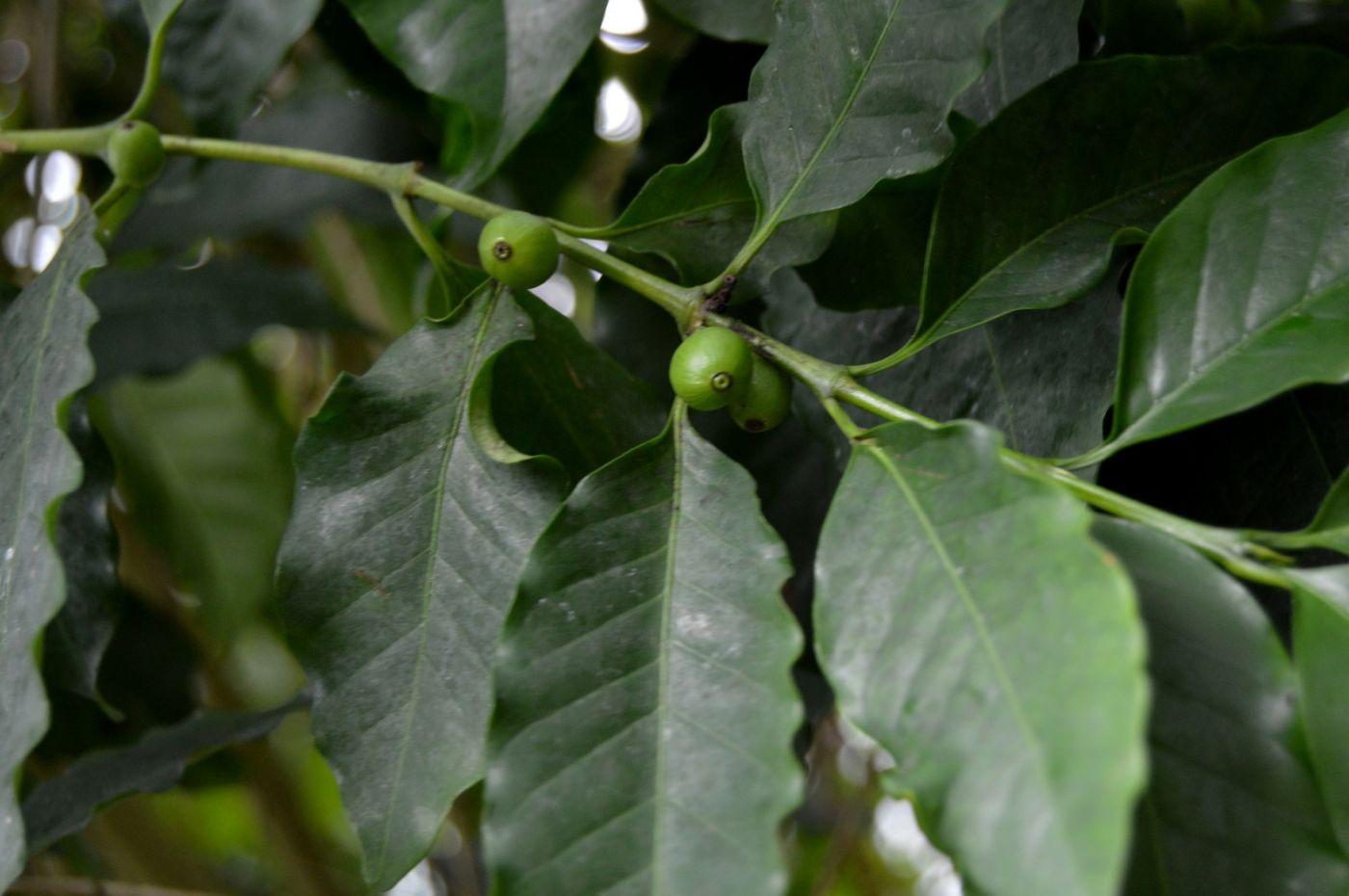 小果咖啡_图1-9