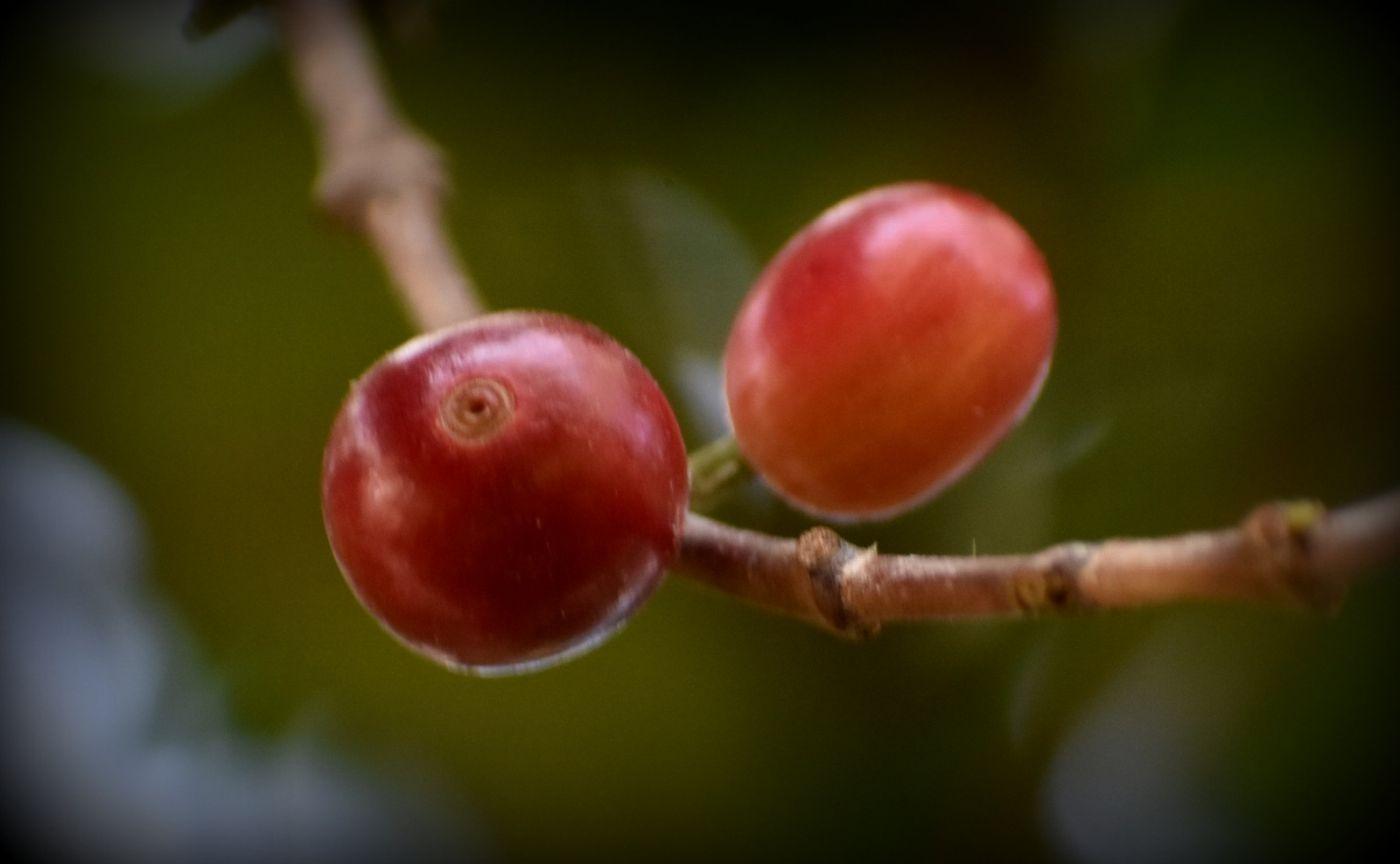 小果咖啡_图1-14