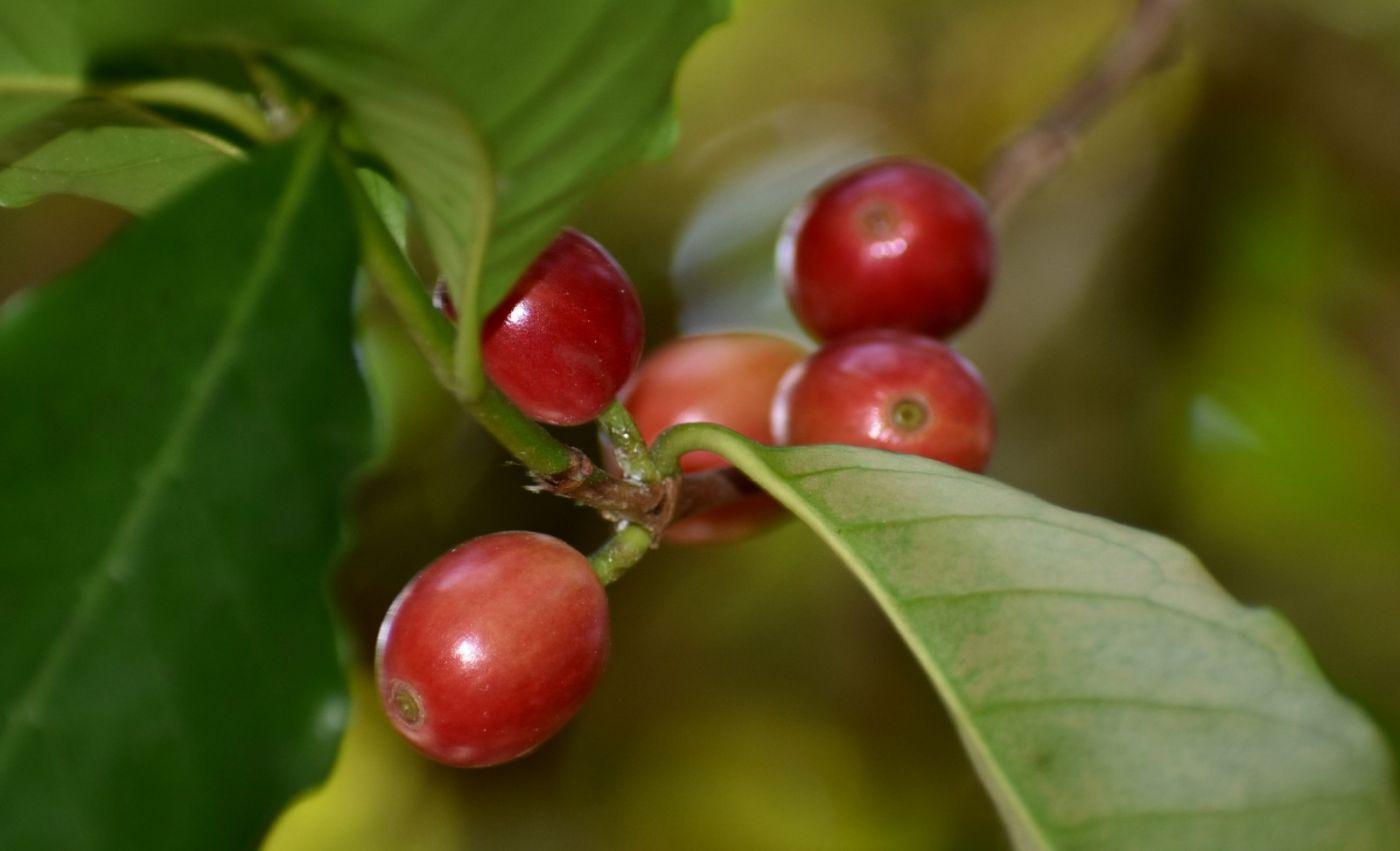 小果咖啡_图1-15