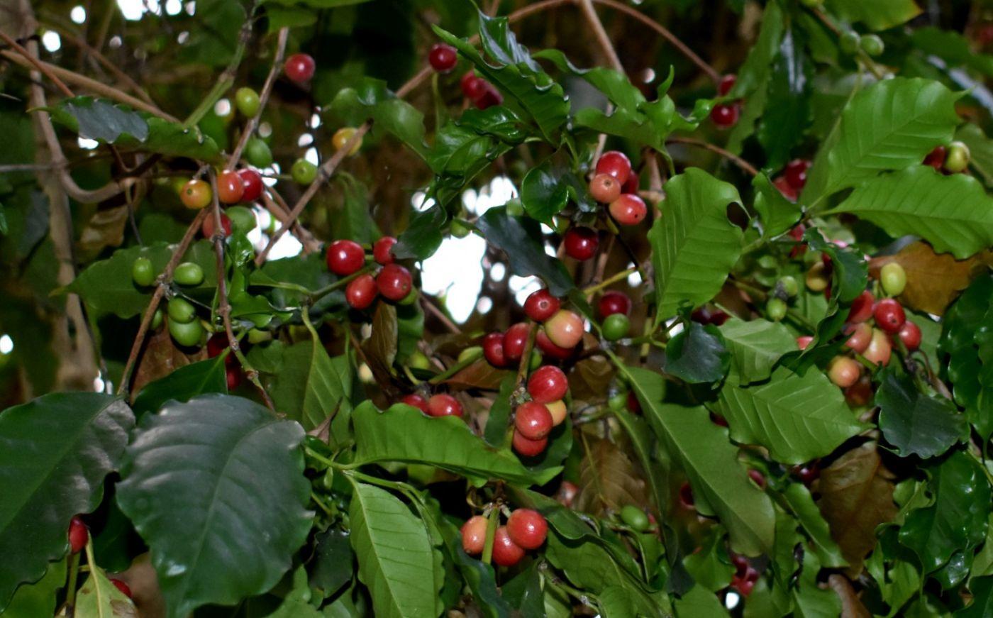 小果咖啡_图1-19