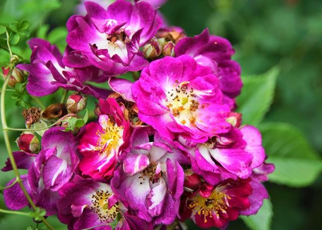 莫里安瓦法师学院的玫瑰  2_图1-2