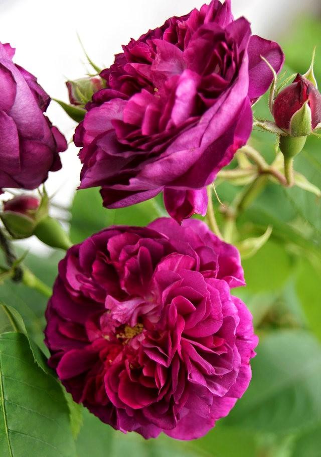 莫里安瓦法师学院的玫瑰  2_图1-4