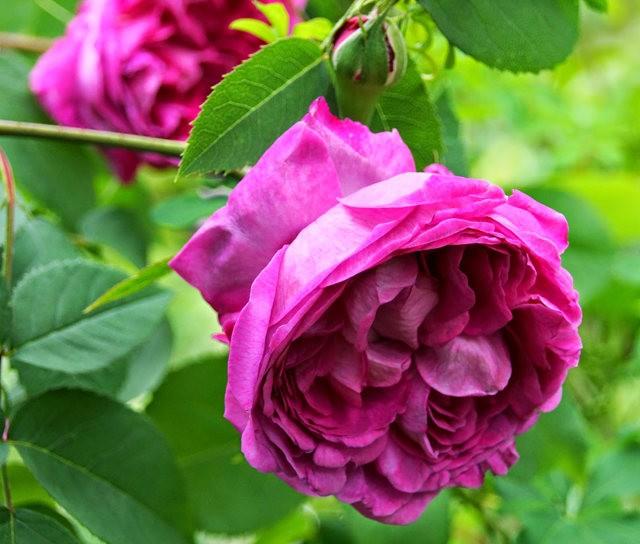 莫里安瓦法师学院的玫瑰  2_图1-5