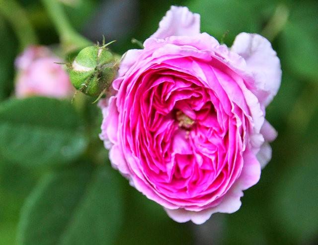 莫里安瓦法师学院的玫瑰  2_图1-6