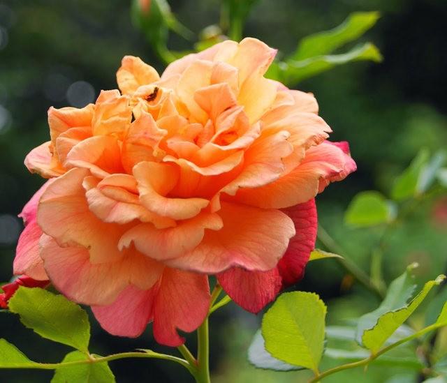莫里安瓦法师学院的玫瑰  2_图1-9