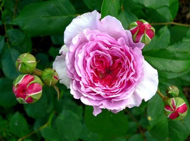 莫里安瓦法师学院的玫瑰  2_图1-10