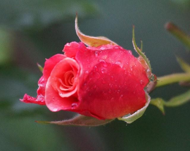 莫里安瓦法师学院的玫瑰  2_图1-11