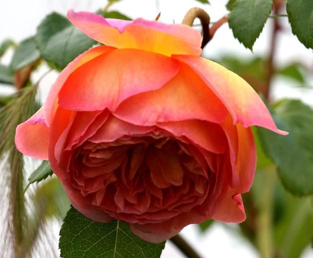 莫里安瓦法师学院的玫瑰  2_图1-12