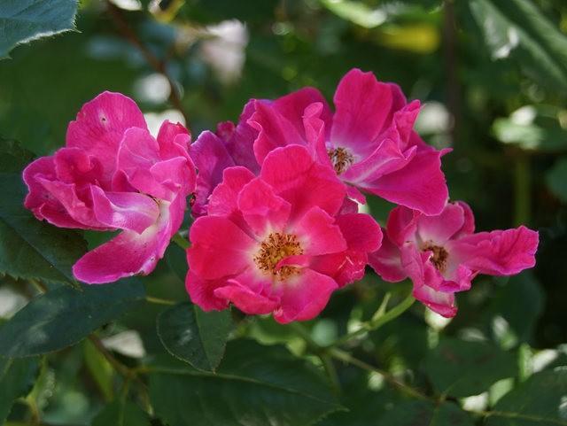 莫里安瓦法师学院的玫瑰  2_图1-13