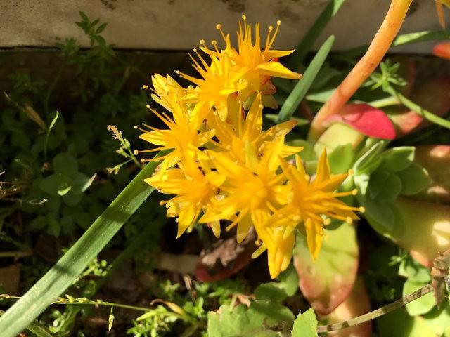 景天属多汁植物也有美丽花_图1-2