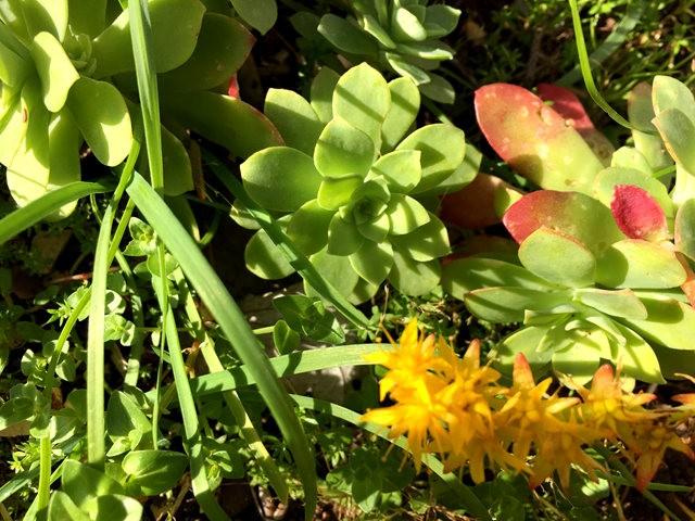 景天属多汁植物也有美丽花_图1-4