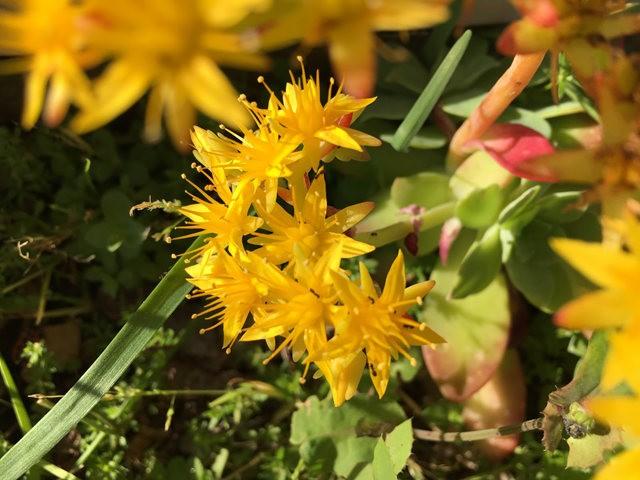 景天属多汁植物也有美丽花_图1-5