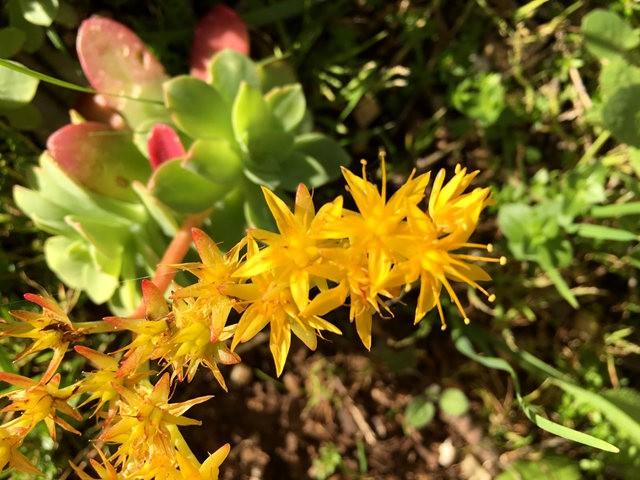 景天属多汁植物也有美丽花_图1-6