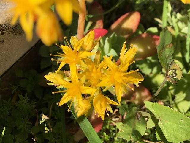 景天属多汁植物也有美丽花_图1-8