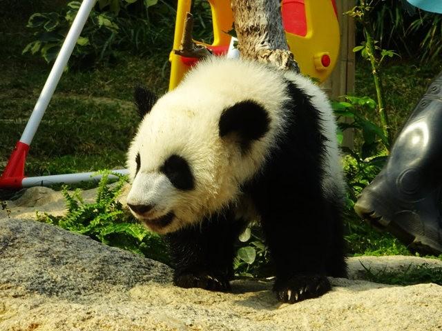 澳门熊猫_图1-1