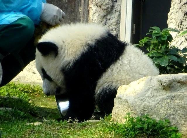 澳门熊猫_图1-2