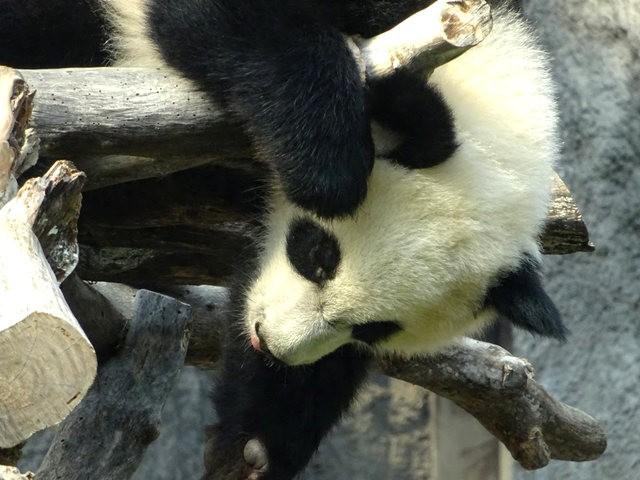 澳门熊猫_图1-3