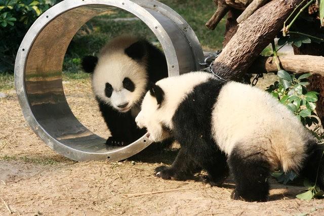 澳门熊猫_图1-4