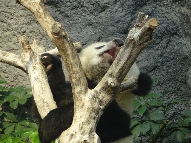 澳门熊猫_图1-5
