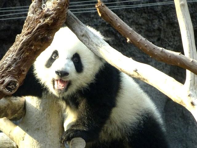 澳门熊猫_图1-6