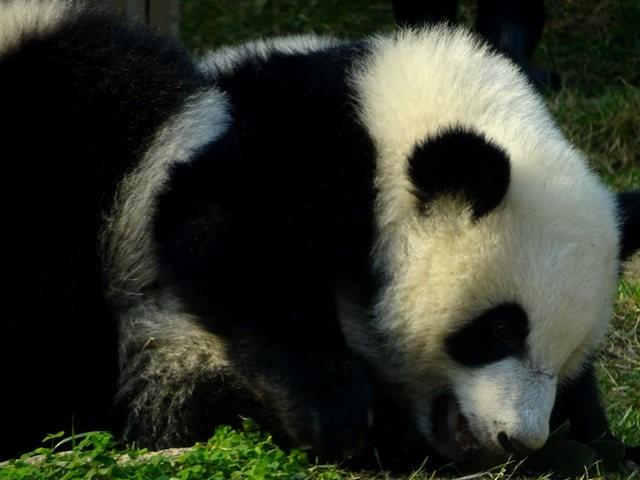 澳门熊猫_图1-7