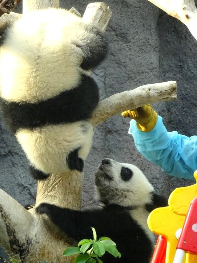 澳门熊猫_图1-8