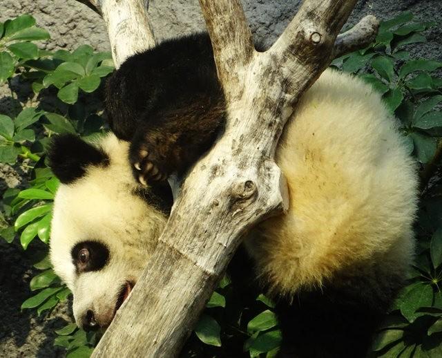 澳门熊猫_图1-9