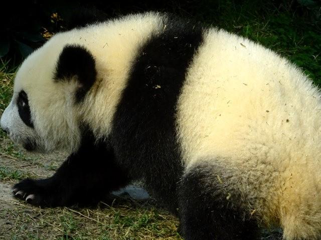 澳门熊猫_图1-11