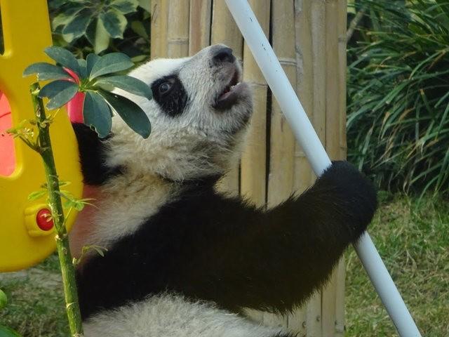 澳门熊猫_图1-12