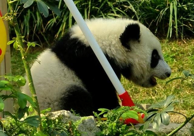 澳门熊猫_图1-13