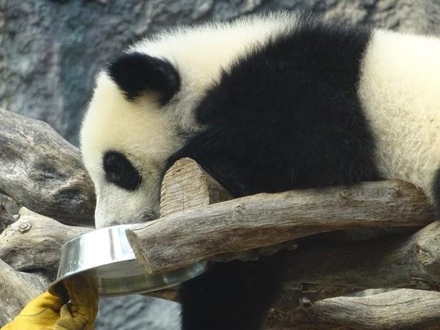澳门熊猫_图1-14