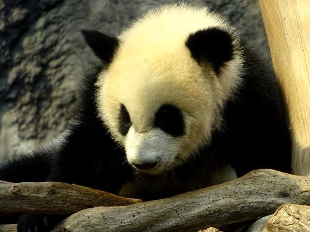 澳门熊猫_图1-15