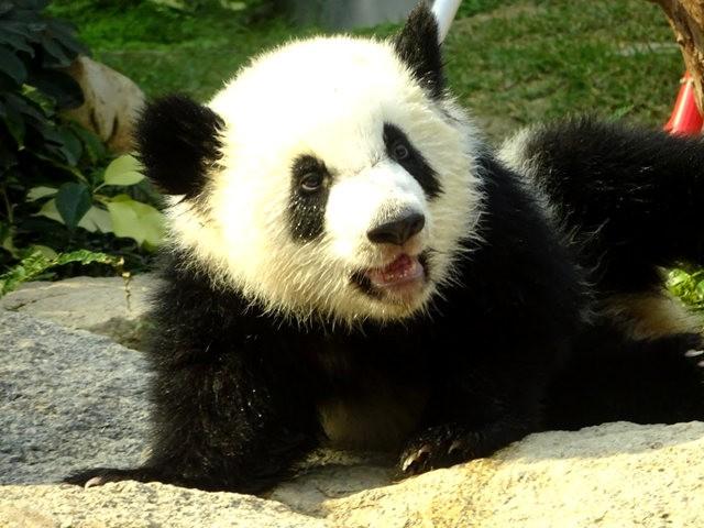 澳门熊猫_图1-17