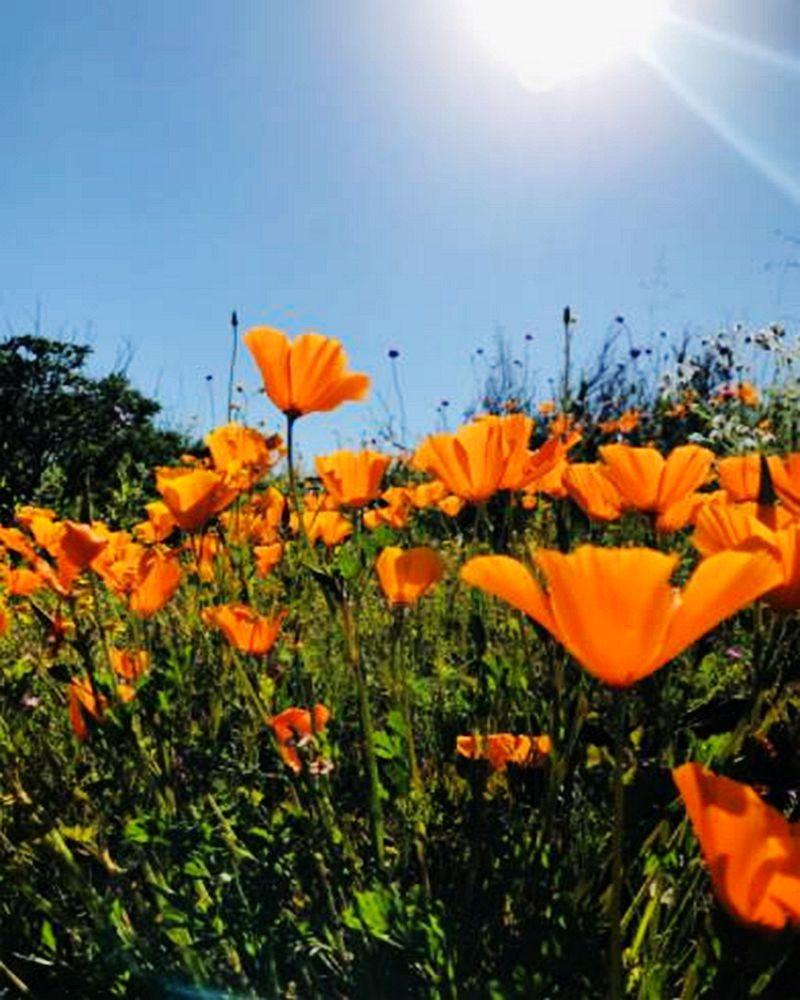 加州罂粟花海_图1-1