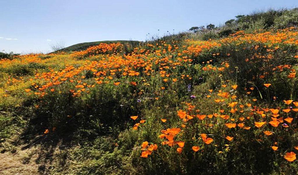 加州罂粟花海_图1-3
